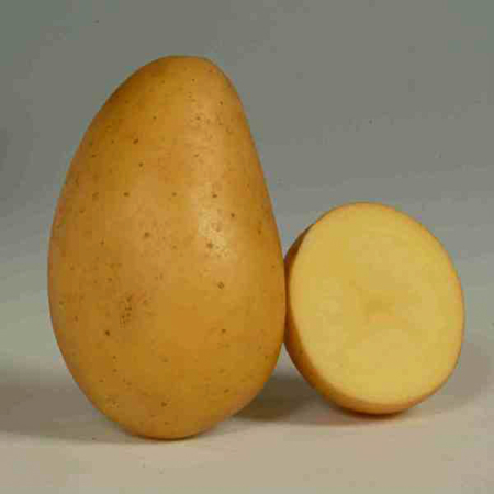Semence pomme de terre Allians