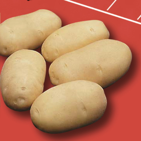 semence de pomme de terre challenger