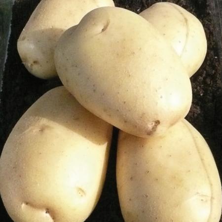 Semence pomme de terre Cupido