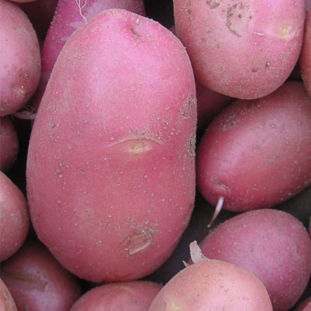 Semence pomme de terre Dalida