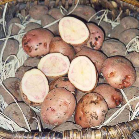 Semence pomme de terre Fleur de Pecher