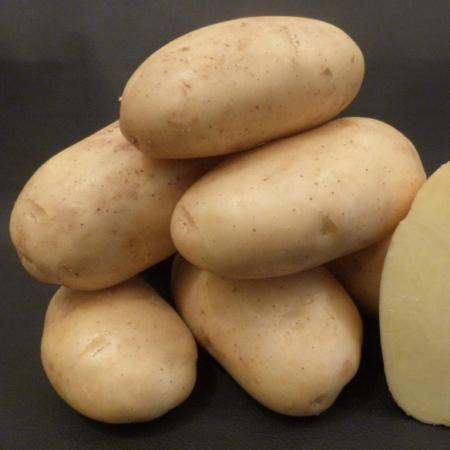 semence de pomme de terre gazelle