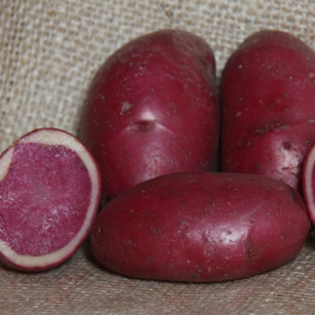 semence pomme de terre highland burgundy red rouge de bourgogne