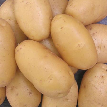 Semence pomme de terre Isabel
