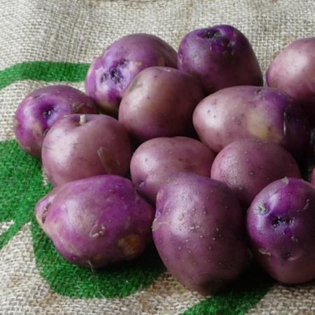 semence pomme de terre koopmans blauwe