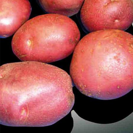 Semence pomme de terre Kuroda