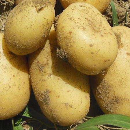 Semence pomme de terre Martina