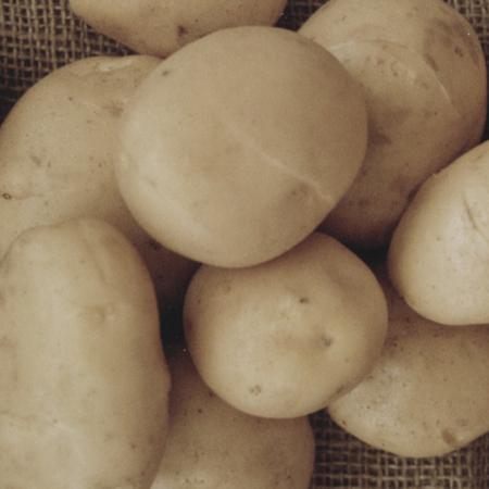 semence pomme de terre spartaan