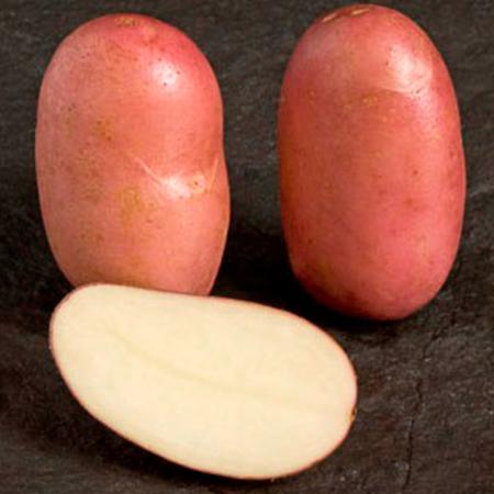 Semence pomme de terre PROSPERE Stemster