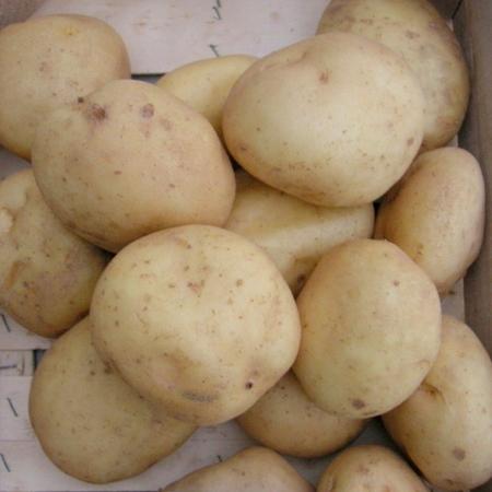 semence de pomme de terre UP TO DATE