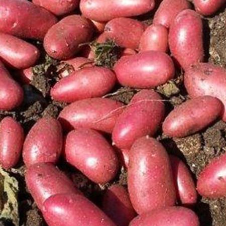 Semence pomme de terre Cerisa