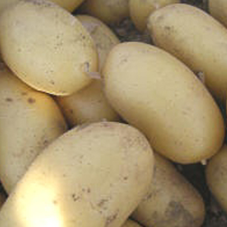 Semence pomme de terre Coquine
