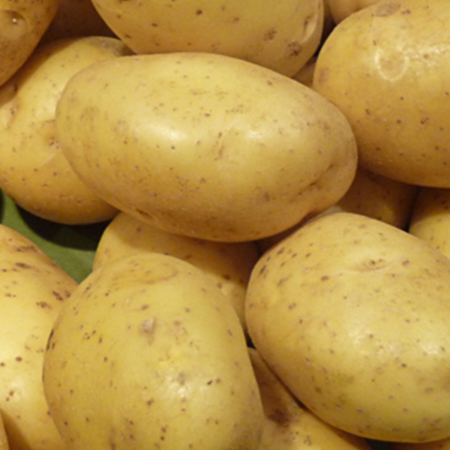 Semence pomme de terre Maestro