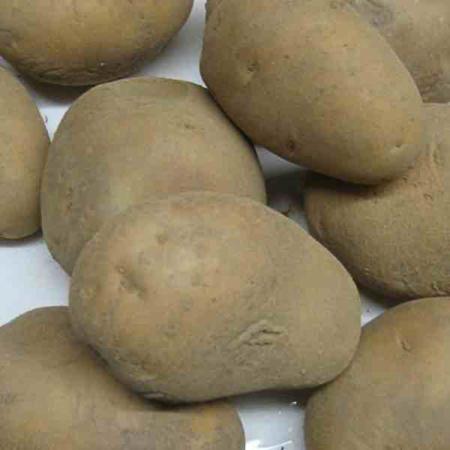 Semence pomme de terre Agria