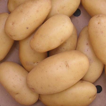 Semence pomme de terre Anoe