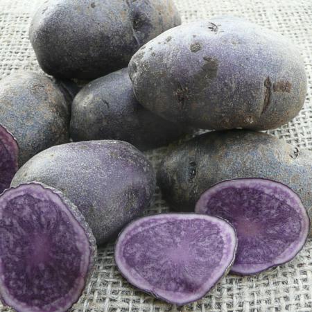 semence de pomme de terre bleue de la manche