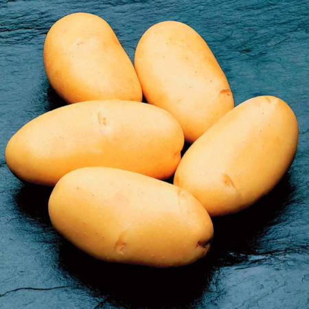 semence de pomme de terre caesar