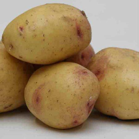 Semence pomme de terre Carolus