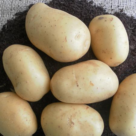 Semence pomme de terre Cephora