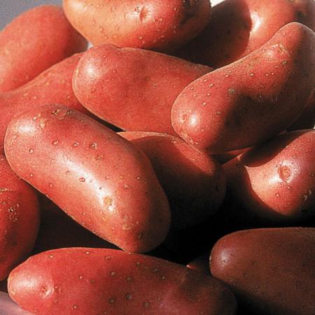 Semence pomme de terre Cherie