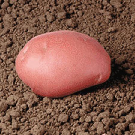 Semence pomme de terre Desiree