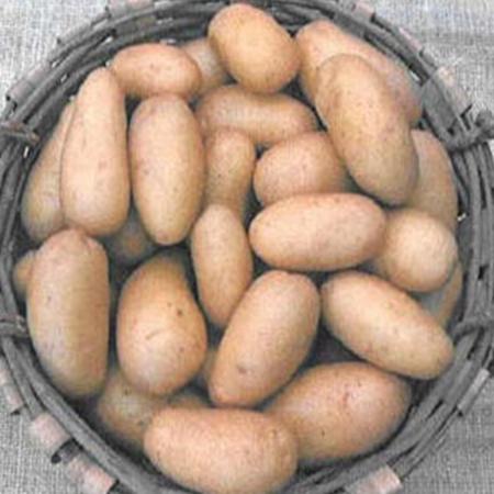 semence pomme de terre esmeralda