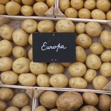 semence pomme de terre europa