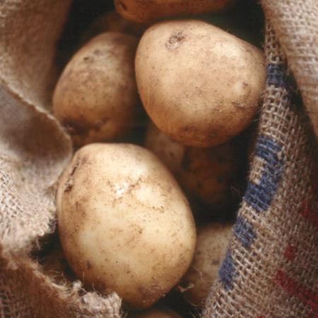 SEMENCE pomme de terre kennebec