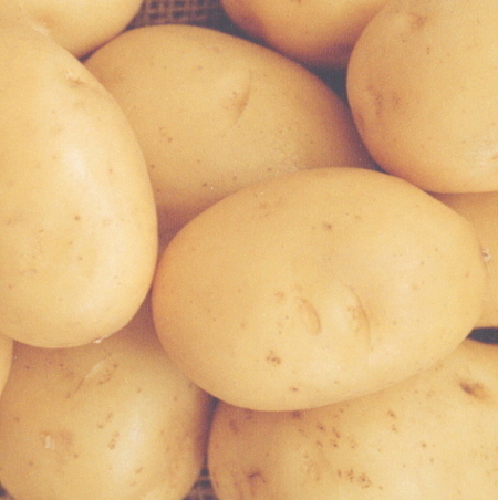 semence de pomme de terre lanorma