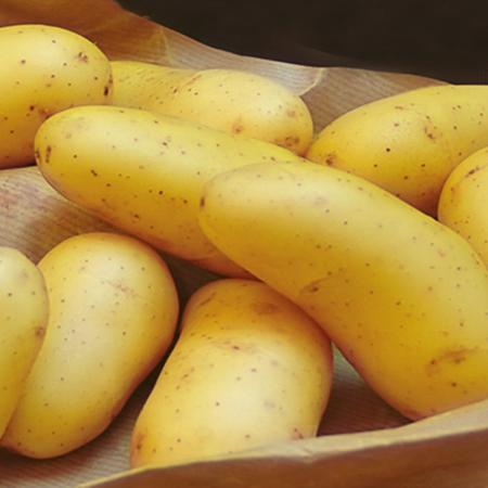 Semence pomme de terre Laurette