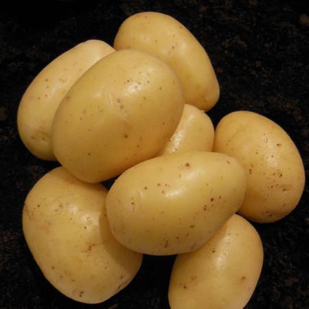 Semence pomme de terre lutine