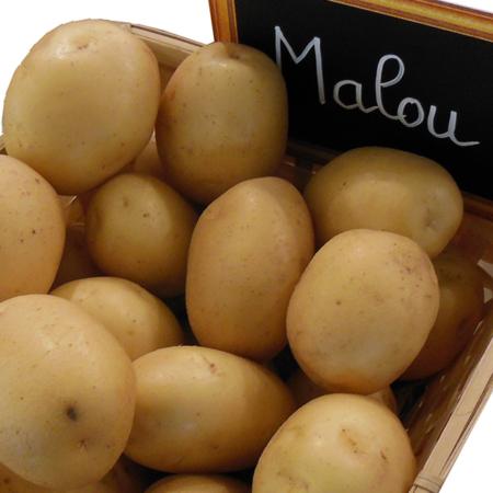 Semence pomme de terre Malou