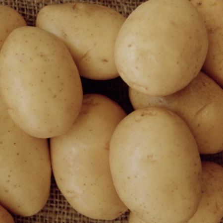semence pomme de terre nazca