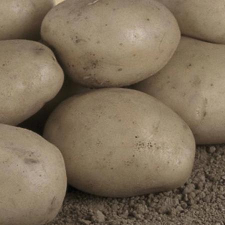 Semence pomme de terre Resy