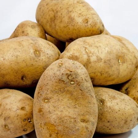 semence de pomme de terre russet burbanks