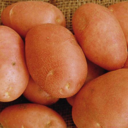 Semence pomme de terre Sarpo Mira