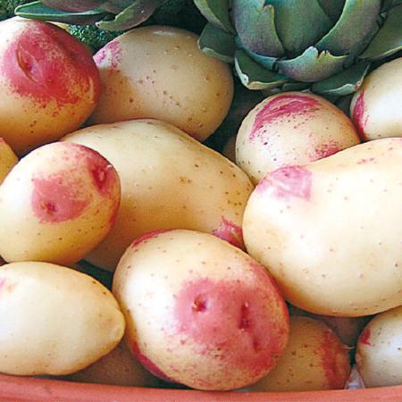 Semence pomme de terre King Edward IV