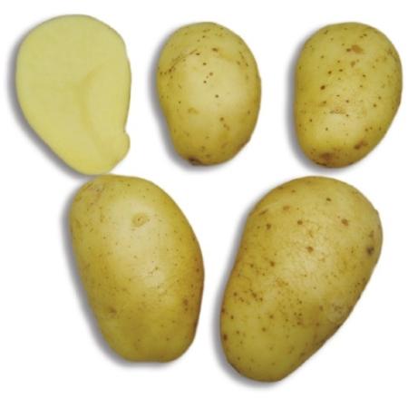 semence de pomme de terre maiwen