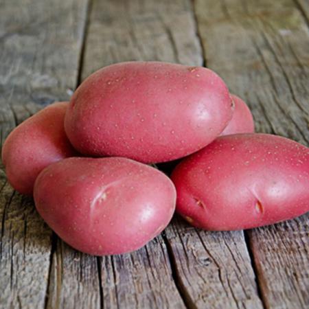 Semence pomme de terre Manitou
